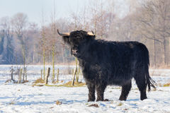 Black scottish highlander cow in winter snow Royalty Free Stock Photo