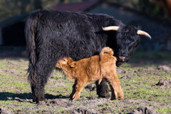 Black Scottish highlander mother cow with drinking newborn calf Royalty Free Stock Photo