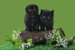 Black Scottish kitten playing on the spring grass Royalty Free Stock Photography