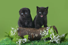 Black Scottish kitten playing on the spring grass Stock Photos