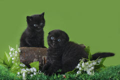 Black Scottish kitten playing on the spring grass Royalty Free Stock Photo