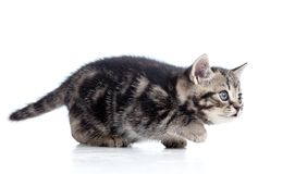 Black Scottish kitten slinks Royalty Free Stock Photography