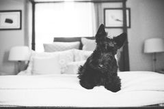 Black Scottish Terrier on a Bed Royalty Free Stock Photos