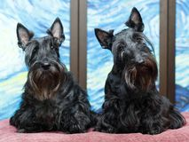 Animal dog at home. Black Scottish Terrier dog in color room stock photos