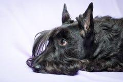Animal dog at white home. Black Scottish Terrier dog in white room stock image