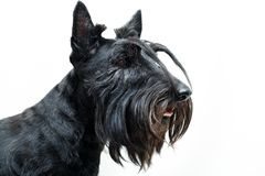 Animal dog at white home. Black Scottish Terrier dog in white room stock photo