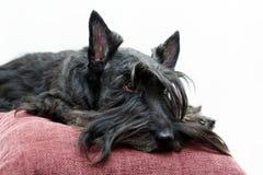 Animal dog at white home. Black Scottish Terrier dog in white room royalty free stock photos