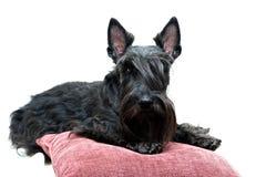 Animal dog at white home. Black Scottish Terrier dog in white room stock images