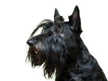 Anomal dog at white home. Black Scottish Terrier dog in white room royalty free stock photos