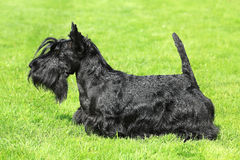 Black Scottish Terrier on a green grass lawn Royalty Free Stock Image