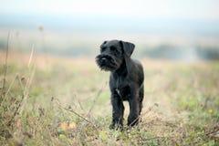Black Scottish Terrier litlle funny Stock Images