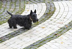 Black Scottish terrier walks the paved paths of the park. Black Scottish terrier walks the paved paths of autumn park stock photography