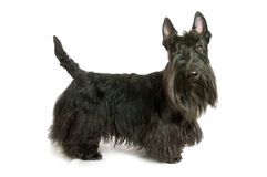 Scottish terrier Stock Photography