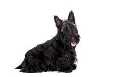 Black scottish terrier on white background Stock Photo