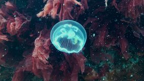 Black Sea. Aurelia aurita also called the moon jelly, moon jellyfish, common jellyfish, or saucer jelly is a widely studied spec. Aurelia aurita also called the stock footage