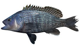 Black Sea Bass. Fish isolated on white backgroundnd royalty free stock image