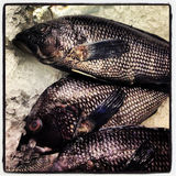 Black Sea Bass Royalty Free Stock Images