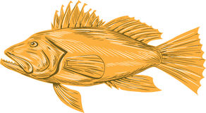 Black Sea Bass Drawing Stock Images