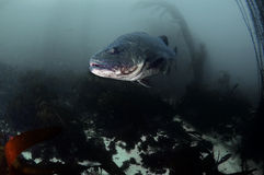 Black Sea Bass. A giant black sea bass in a kelp forest royalty free stock photo