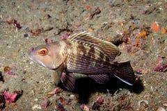 Black Sea Bass  Stock Photography