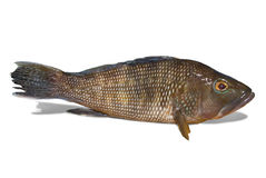 Black sea bass on white background. With clipping path stock photos