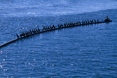 Black Sea Birds in the Sea Stock Images