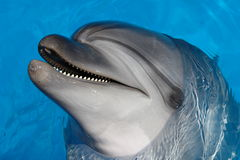 Black Sea bottlenose dolphin. Black Sea dolphin bottlenose dolphin floats with a slight smile in blue water Stock Photo