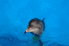 Black Sea bottlenose dolphin. Black Sea dolphin bottlenose dolphin floats with a slight smile in blue water royalty free stock images