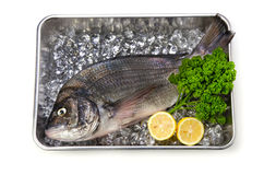 Black sea bream Royalty Free Stock Image