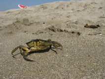 The Black Sea crab Royalty Free Stock Images