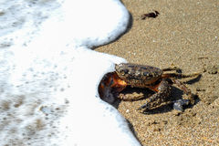 Black sea crab entering into water Stock Photography