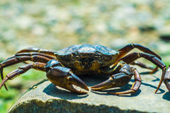 The Black Sea crab Royalty Free Stock Photos