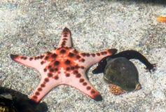 Black sea cucumber and Starfish and shellfish Royalty Free Stock Photos