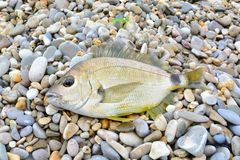 Black Sea Diplodus annularis on the seashore Stock Images