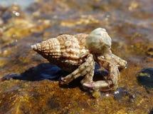 Black Sea hermit crab stock image