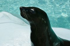 Black sea lion. Close up Stock Photos