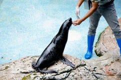 A Black Sea Lion Stock Images