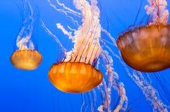 Black Sea Nettle Stock Photos