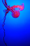 Black Sea Nettle Stock Photo