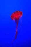 Black Sea Nettle Stock Image