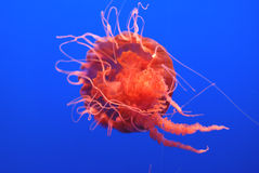 Black Sea Nettle, Chrysaora achlyos. Large sized jelly fish often reaching 1 m, found in pacific ocean, with dark purple bell, finger like gonads and marginal Royalty Free Stock Image