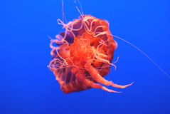 Black Sea Nettle, Chrysaora achlyos. Large sized jelly fish often reaching 1 m, found in pacific ocean, with dark purple bell, finger like gonads and marginal Royalty Free Stock Photos