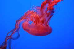 Black Sea Nettle, Chrysaora achlyos. Large sized jelly fish often reaching 1 m, found in pacific ocean, with dark purple bell, finger like gonads and marginal Stock Image