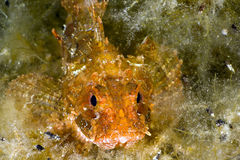 Black Sea scorpionfish Royalty Free Stock Images
