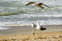 Black Sea Seagulls Stock Photography