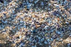 Black sea shell, Bulgaria Stock Image