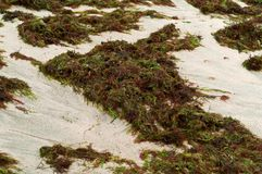 Small shells and marine algae, black sea shells, the green ooze of the sea. Black sea shells, the green ooze of the sea, small shells and marine algae stock photography