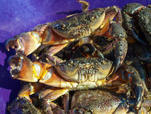 Black Sea stone crabs Stock Photography