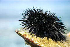 Black sea urchin Stock Image