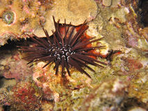 Black Sea Urchin. Sharp spines and some are venomous. Certain species can be eaten and are Japanese favorites Stock Photo